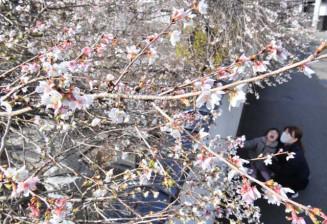寒さが増す中、かれんな花を咲かせるシキザクラ=27日、盛岡市鉈屋町・千手院