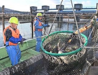 網の中で跳ね、水しぶきを上げるサケ=1日、宮古市・津軽石川