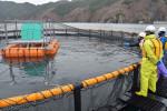 期待大 サクラマス海面養殖 釜石市と岩手大、来年試験出荷へ