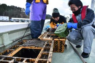 試験的に畜養するウニにキャベツを与える町職員ら=船越湾