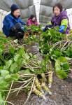 ワサビ 清水にきりり 遠野・宮守で収穫最盛期