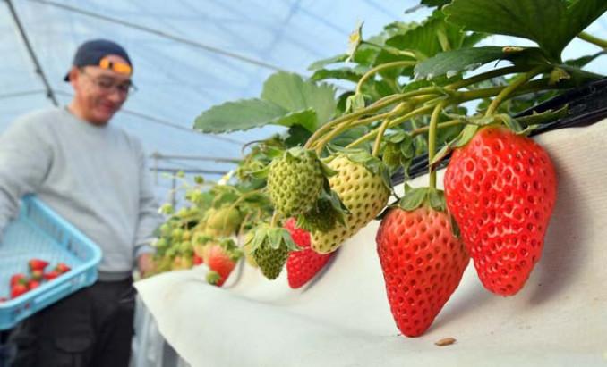 真っ赤に色づき始めたイチゴ。クリスマスに向け収穫作業が繁忙期を迎える=17日、岩泉町小本