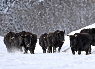 雪の積もった放牧地を力強く進む牛=20日、遠野市小友町