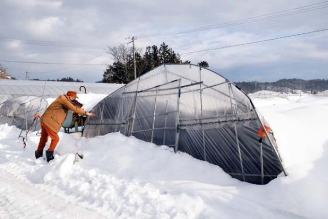 大雪の影響で倒壊したビニールハウス。ハウス内ではラベンダーを栽培中だった=24日、一関市厳美町