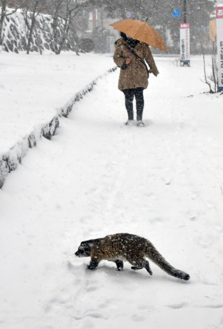 雪の積もる岩手公園に姿を見せたハクビシン