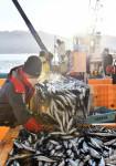 初水揚げ 厳冬の浜熱く 大船渡市魚市場