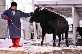 東京食肉市場に向け、トラックに積み込まれる牛