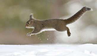 木の実を探し、雪原を駆けるニホンリス=5日、盛岡市みたけ・県営運動公園