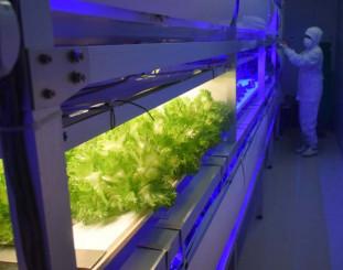 工場の一角で試行的に栽培しているフリルレタス。新工場整備により生産能力は10倍になる