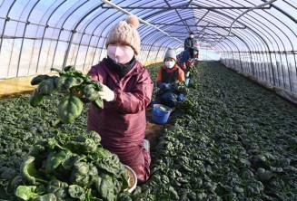 青々と育った寒締めホウレンソウを収穫する高橋留美子さん(左)=14日、八幡平市平笠