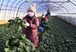 厳寒耐え 青く甘く 八幡平市で寒締めホウレンソウ収穫