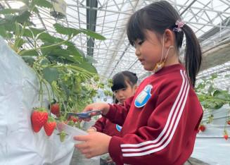 大きく実ったイチゴの収穫を楽しむ園児たち