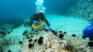 ウニが増え、磯焼けが深刻化している大船渡市三陸町内の海底。ダイバーが駆除に追われている=2020年12月上旬(佐藤寛志さん提供)