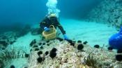 「磯焼け」深刻 アワビ漁に影響 県内、冬場のウニの食害原因