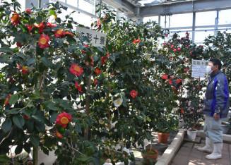 色鮮やかなツバキが咲き誇る世界の椿館・碁石。2月6日からつばきまつりが開かれる