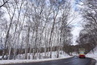 平庭高原に広がるシラカバ林。寿命が迫り存続の岐路に立っている=久慈市山形町