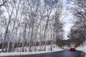 平庭のシラカバ林 存続岐路 久慈・寿命迫り倒木目立つ
