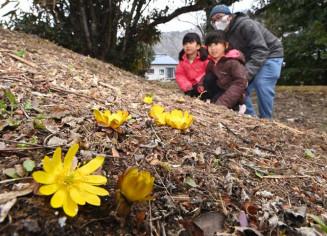 日当たりの良い斜面に咲き始め、彩りを添えるフクジュソウ=2日、大船渡市日頃市町・長安寺