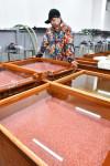 本県の秋サケ大不漁 人工ふ化放流本格化後最低の1729トン