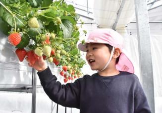 オープン記念に招かれ、大きく実ったイチゴを摘み取る子ども