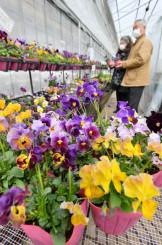 暖かいハウス内で色鮮やかに咲くビオラ=23日、雫石町長山・花工房らら倶楽部