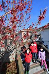 色鮮やかなマンサクを眺める児童=25日、大船渡市三陸町・吉浜小