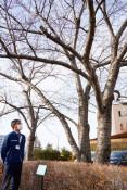 盛岡の桜標本木を変更 24年ぶり、気象台敷地内で観測