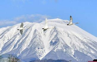 雪をまとう岩手山を背景に北へ向かうハクチョウの群れ=3日、盛岡市・高松池
