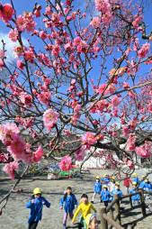 青空の下、陽光を浴びて色鮮やかに咲く紅梅=4日、大船渡市末崎町・末崎保育園