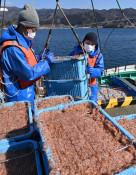 春色、かごいっぱい 大船渡・市魚市場、イサダ今季初水揚げ