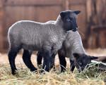 ヒツジの赤ちゃんすくすく くずまき高原牧場