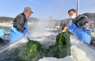 ボイルされ、鮮やかな緑色に変わるワカメ=24日、大船渡市末崎町・門の浜漁港