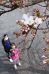 最速、春ほころぶ 大船渡市が桜の開花宣言