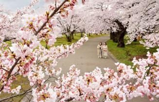 満開を迎えた岩手公園の桜=2020年4月