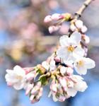 桜が彩る新年度の始まり 一関で最速開花宣言