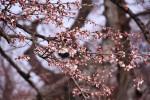 春うららか 奥州で桜最速開花