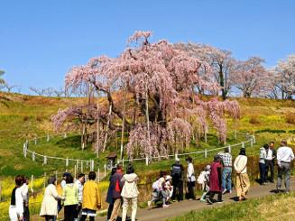 紅色の花が見頃を迎え、青空に映える三春滝桜