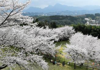妙義山を望む高台で満開になった後閑城址公園の桜