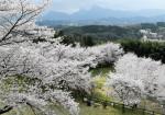山々を背に愛でる春 後閑城址公園(群馬・安中市)
