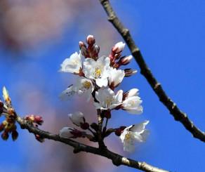 淡いピンク色の花を咲かせた石割桜=5日午後3時40分、盛岡市内丸・盛岡地裁前