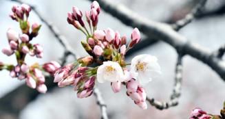 ピンクの花を広げる北上市のソメイヨシノ。過去最速の開花となった