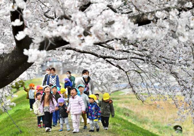 咲き誇る桜のトンネルを見上げる園児たち=6日、大槌町大ケ口(報道部・菊池範正撮影)