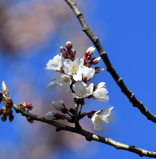 淡いピンク色の花を咲かせた石割桜=5日、盛岡市・盛岡地裁前