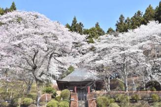 金剛寺の境内を彩る桜