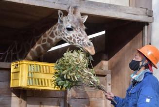 飼育員から与えられた餌を食べるカリン。惜しまれつつ富山市へ旅立った=9日、盛岡市新庄・市動物公園