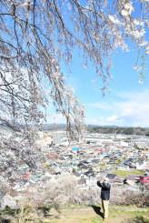 春風に揺られ、青空に映える釣山公園の桜