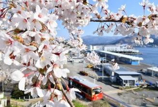 海をバックに満開のソメイヨシノが楽しめる永沢公園