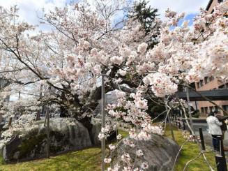 見頃を迎えた石割桜=10日、盛岡市内丸・盛岡地裁敷地内