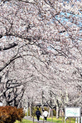 見頃を迎えた長沢川桜づつみの桜