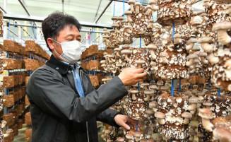 発生舎で菌床シイタケを収穫する杉沢和弘さん。二戸市浄法寺町の産地化に向けた取り組みを強化する